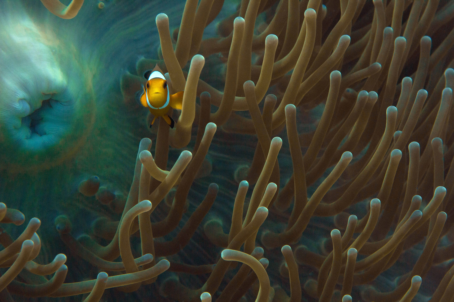 Intrigued Clownfish