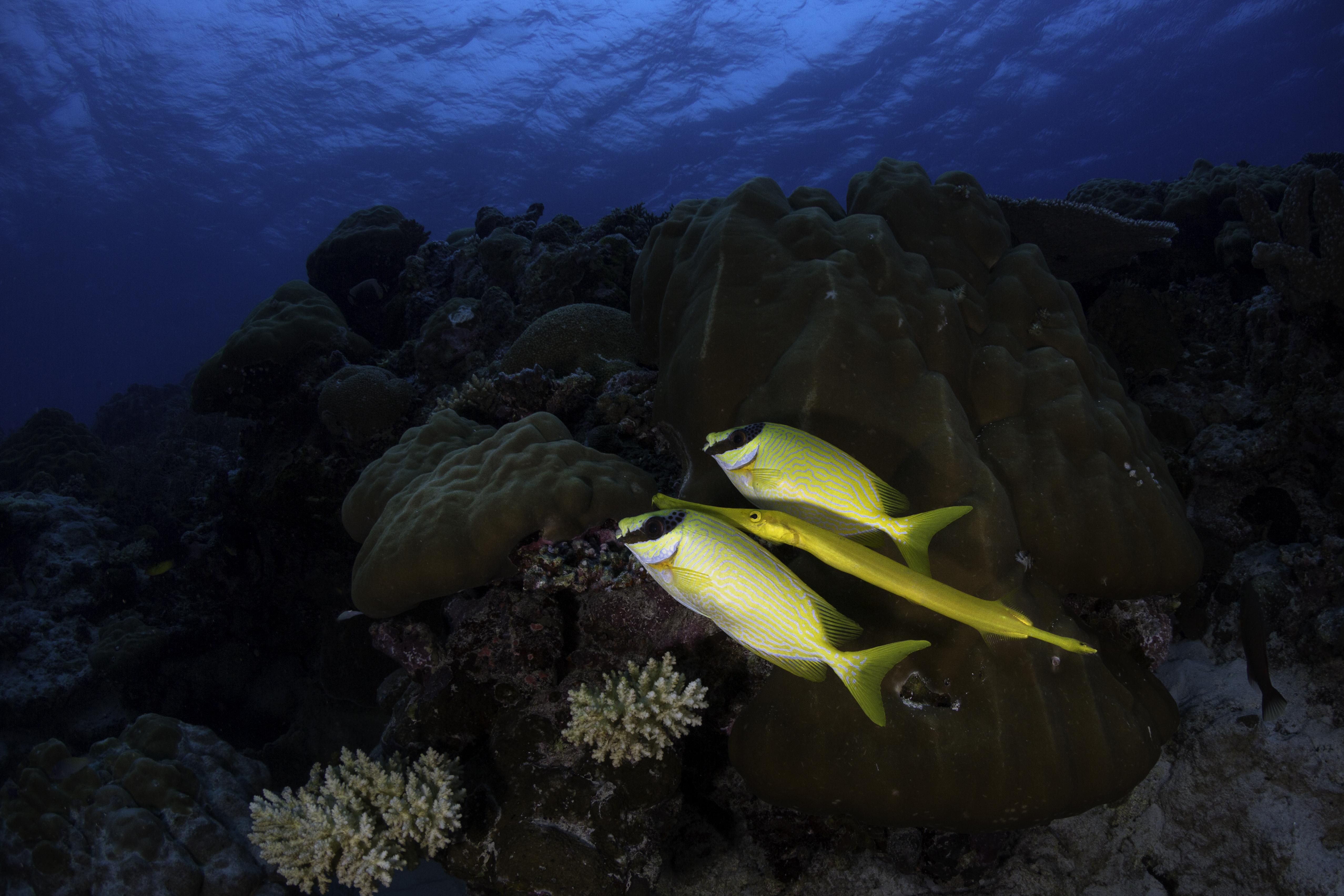 Trumpet Fish Interesting Behavior
