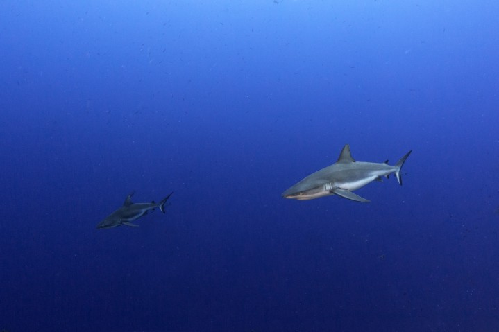 Sharks Of Palau