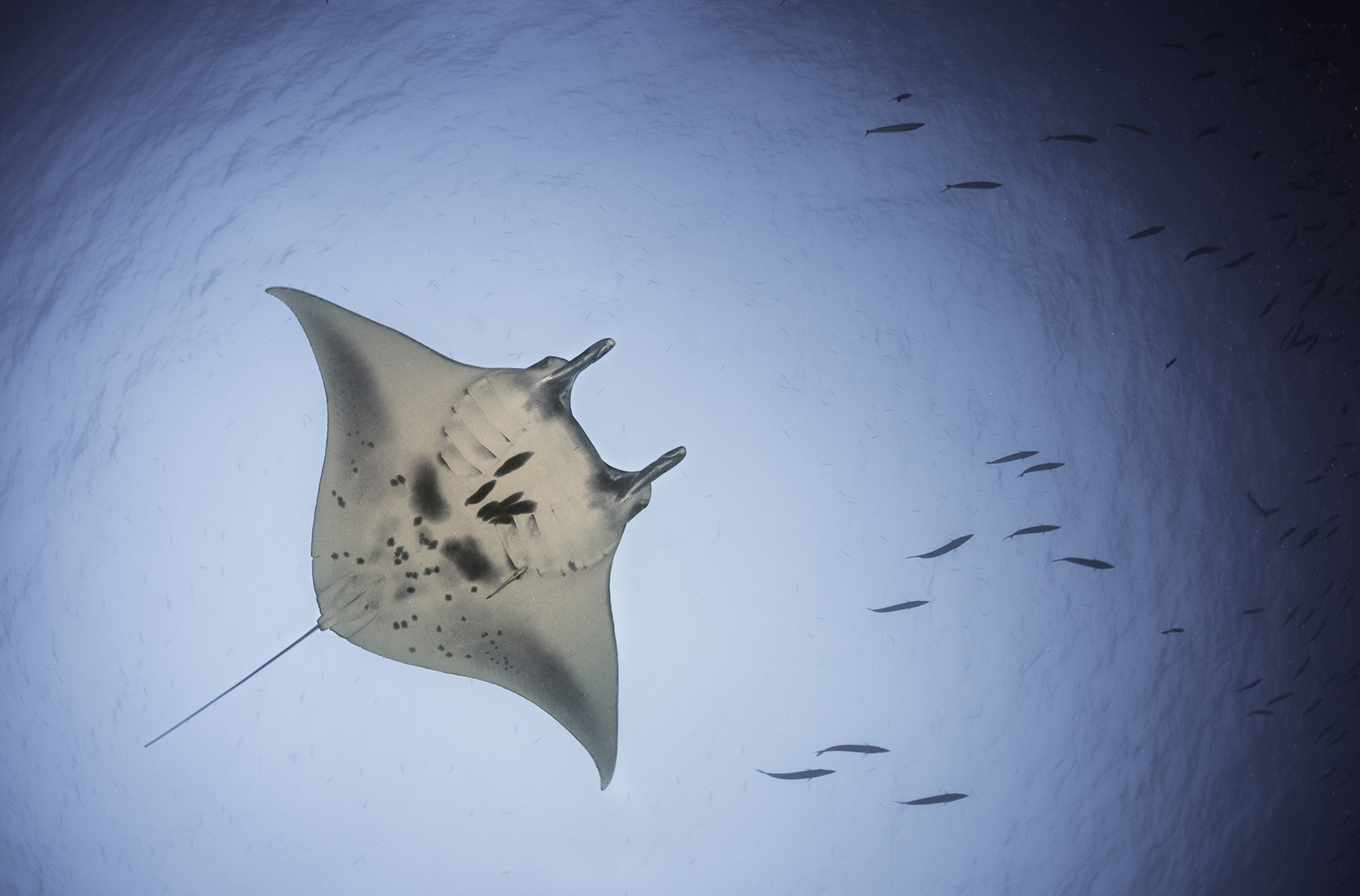 Manta Ray Fly by