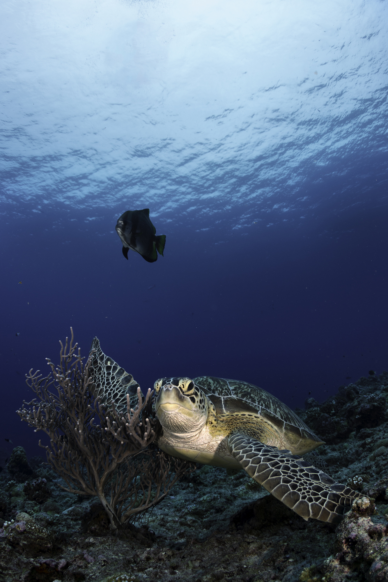 Turtle Cleaning On The Coral