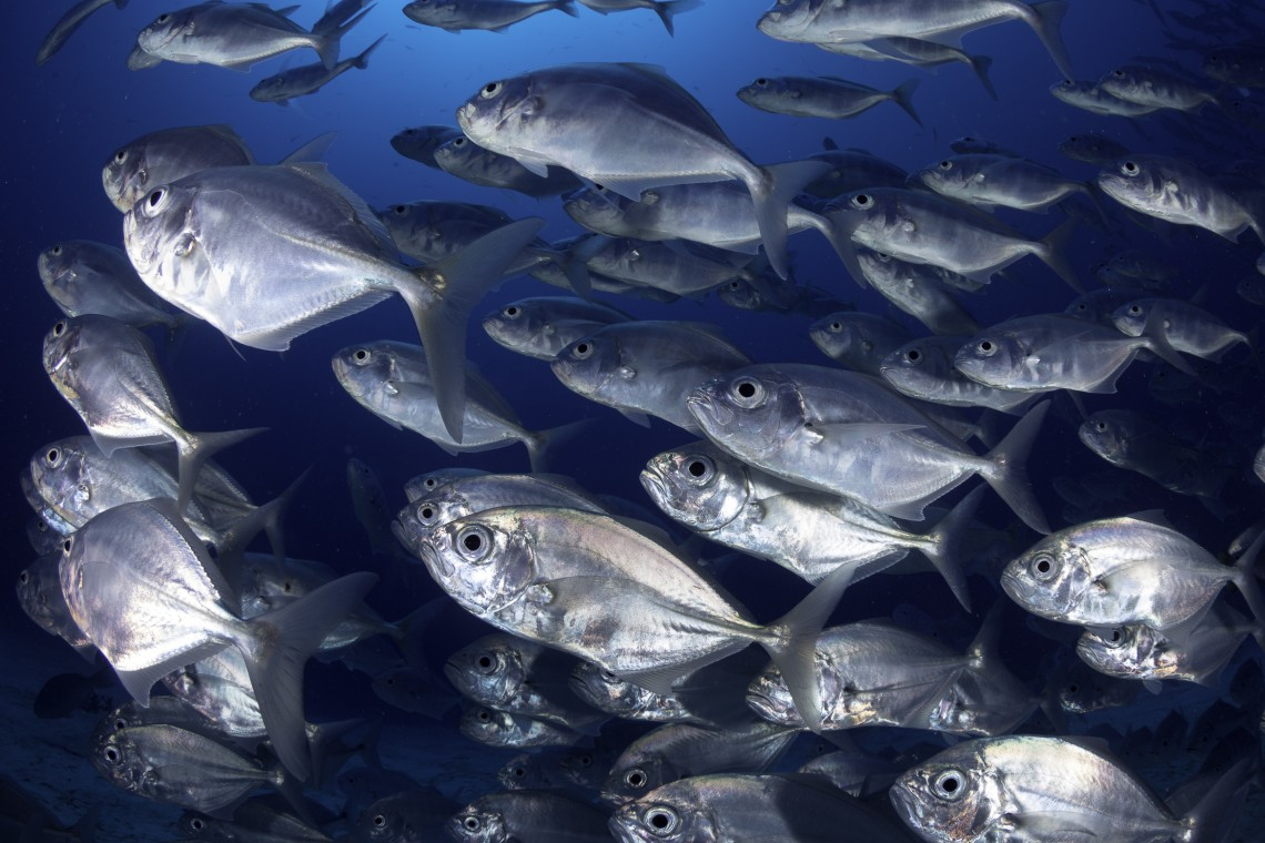 school of jackfish