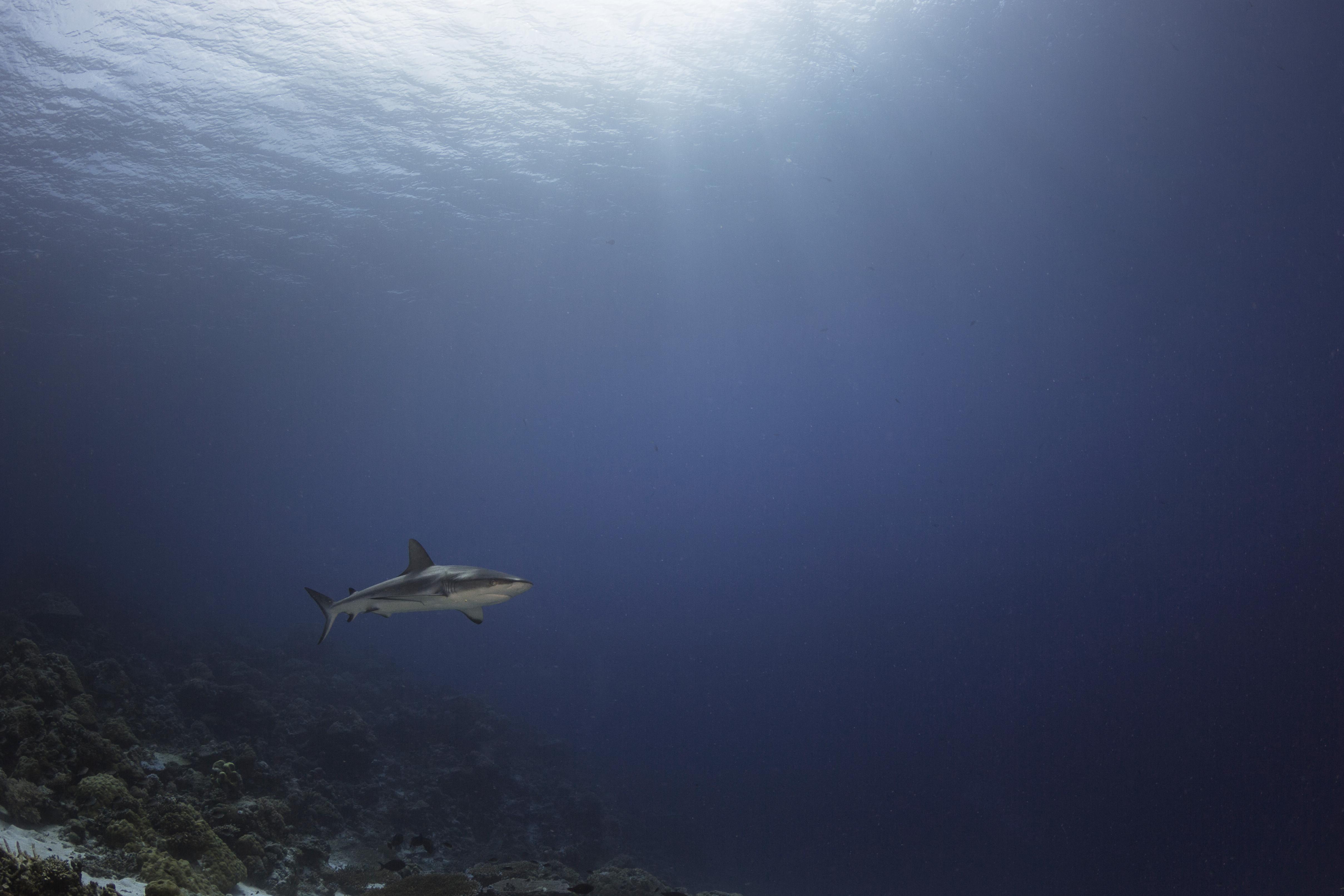 Shark Bathed By The Sunrays
